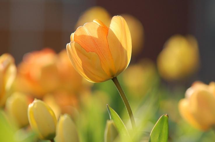 tulip-690320_1280